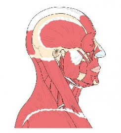 diagram of muscles in the face, head, neck and shoulders