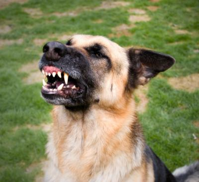 German shepherd dog bares teeth